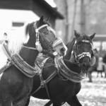 zawody-furmanów-milówka-043